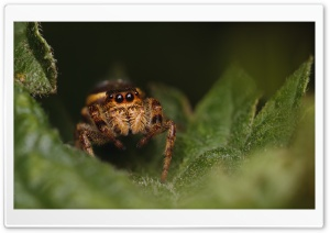 Jumping Spider HD Wide Wallpaper for 4K UHD Widescreen desktop & smartphone