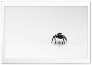 Jumping Spider Black and White HD Wide Wallpaper for 4K UHD Widescreen desktop & smartphone