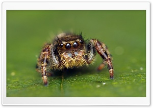 Jumping Spider Cute HD Wide Wallpaper for 4K UHD Widescreen desktop & smartphone
