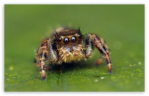 Jumping Spider Cute UltraHD Wallpaper for Wide 16:10 5:3 Widescreen WHXGA WQXGA WUXGA WXGA WGA ; UltraWide 21:9 24:10 ; 8K UHD TV 16:9 Ultra High Definition 2160p 1440p 1080p 900p 720p ; UHD 16:9 2160p 1440p 1080p 900p 720p ; Standard 4:3 5:4 3:2 Fullscreen UXGA XGA SVGA QSXGA SXGA DVGA HVGA HQVGA ( Apple PowerBook G4 iPhone 4 3G 3GS iPod Touch ) ; Tablet 1:1 ; iPad 1/2/Mini ; Mobile 4:3 5:3 3:2 16:9 5:4 - UXGA XGA SVGA WGA DVGA HVGA HQVGA ( Apple PowerBook G4 iPhone 4 3G 3GS iPod Touch ) 2160p 1440p 1080p 900p 720p QSXGA SXGA ; Dual 5:4 QSXGA SXGA ;
