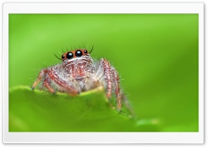 Jumping Spider, Green Background HD Wide Wallpaper for 4K UHD Widescreen desktop & smartphone