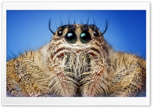 Jumping Spider Macro HD Wide Wallpaper for Widescreen
