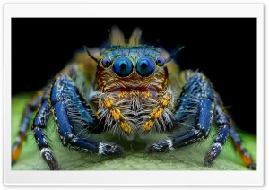 Jumping Spider Macro Insect HD Wide Wallpaper for 4K UHD Widescreen desktop & smartphone