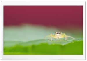 Jumping Spider on a Green Leaf HD Wide Wallpaper for 4K UHD Widescreen desktop & smartphone