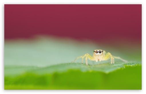 Jumping Spider on a Green Leaf ❤ 4K UHD Wallpaper for Wide 16:10 5:3 Widescreen WHXGA WQXGA WUXGA WXGA WGA ; 4K UHD 16:9 Ultra High Definition 2160p 1440p 1080p 900p 720p ; Standard 4:3 5:4 3:2 Fullscreen UXGA XGA SVGA QSXGA SXGA DVGA HVGA HQVGA ( Apple PowerBook G4 iPhone 4 3G 3GS iPod Touch ) ; Smartphone 5:3 WGA ; Tablet 1:1 ; iPad 1/2/Mini ; Mobile 4:3 5:3 3:2 16:9 5:4 - UXGA XGA SVGA WGA DVGA HVGA HQVGA ( Apple PowerBook G4 iPhone 4 3G 3GS iPod Touch ) 2160p 1440p 1080p 900p 720p QSXGA SXGA ; Dual 16:10 5:3 16:9 4:3 5:4 WHXGA WQXGA WUXGA WXGA WGA 2160p 1440p 1080p 900p 720p UXGA XGA SVGA QSXGA SXGA ;