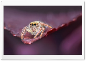 Jumping Spider on a Leaf, Macro HD Wide Wallpaper for 4K UHD Widescreen desktop & smartphone