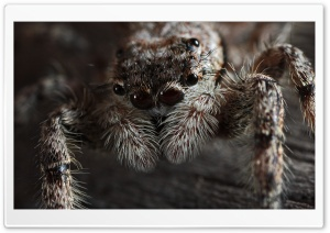 Jumping Spider (Platycryptus Undatus) HD Wide Wallpaper for Widescreen