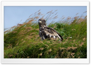 Juvenile Bald Eagle Mcneil River Alaska HD Wide Wallpaper for Widescreen