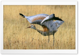 Juvenile Sandhill Crane HD Wide Wallpaper for 4K UHD Widescreen desktop & smartphone