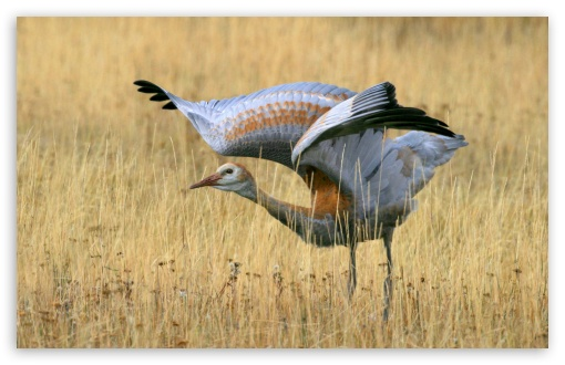 Juvenile Sandhill Crane HD wallpaper for Standard 4:3 5:4 Fullscreen UXGA XGA SVGA QSXGA SXGA ; Wide 16:10 5:3 Widescreen WHXGA WQXGA WUXGA WXGA WGA ; HD 16:9 High Definition WQHD QWXGA 1080p 900p 720p QHD nHD ; Other 3:2 DVGA HVGA HQVGA devices ( Apple PowerBook G4 iPhone 4 3G 3GS iPod Touch ) ; Mobile VGA WVGA iPhone iPad PSP Phone - VGA QVGA Smartphone ( PocketPC GPS iPod Zune BlackBerry HTC Samsung LG Nokia Eten Asus ) WVGA WQVGA Smartphone ( HTC Samsung Sony Ericsson LG Vertu MIO ) HVGA Smartphone ( Apple iPhone iPod BlackBerry HTC Samsung Nokia ) Sony PSP Zune HD Zen ;