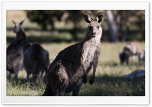 Kangaroos HD Wide Wallpaper for Widescreen