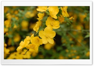 Kerria Japonica Ultra HD Wallpaper for 4K UHD Widescreen desktop, tablet & smartphone