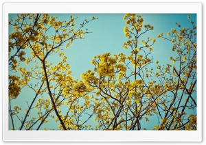 Kerria Japonica HD Wide Wallpaper for Widescreen