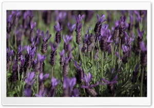 Kind of Lavender HD Wide Wallpaper for 4K UHD Widescreen desktop & smartphone
