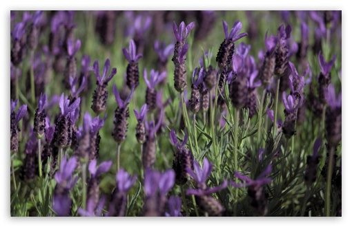 Kind of Lavender ❤ 4K UHD Wallpaper for Wide 16:10 5:3 Widescreen WHXGA WQXGA WUXGA WXGA WGA ; 4K UHD 16:9 Ultra High Definition 2160p 1440p 1080p 900p 720p ; UHD 16:9 2160p 1440p 1080p 900p 720p ; Standard 4:3 5:4 3:2 Fullscreen UXGA XGA SVGA QSXGA SXGA DVGA HVGA HQVGA ( Apple PowerBook G4 iPhone 4 3G 3GS iPod Touch ) ; Smartphone 5:3 WGA ; Tablet 1:1 ; iPad 1/2/Mini ; Mobile 4:3 5:3 3:2 16:9 5:4 - UXGA XGA SVGA WGA DVGA HVGA HQVGA ( Apple PowerBook G4 iPhone 4 3G 3GS iPod Touch ) 2160p 1440p 1080p 900p 720p QSXGA SXGA ;