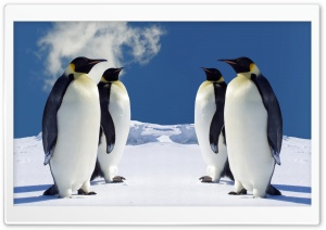 King Penguins Having A Meeting HD Wide Wallpaper for Widescreen