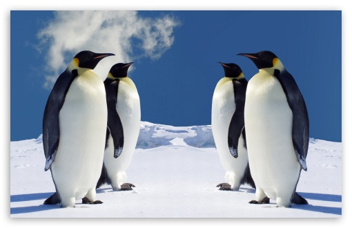 King Penguins Having A Meeting HD wallpaper for Standard 4:3 Fullscreen UXGA XGA SVGA ; Wide 16:10 5:3 Widescreen WHXGA WQXGA WUXGA WXGA WGA ; HD 16:9 High Definition WQHD QWXGA 1080p 900p 720p QHD nHD ; Other 3:2 DVGA HVGA HQVGA devices ( Apple PowerBook G4 iPhone 4 3G 3GS iPod Touch ) ; Mobile VGA WVGA iPhone iPad PSP - VGA QVGA Smartphone ( PocketPC GPS iPod Zune BlackBerry HTC Samsung LG Nokia Eten Asus ) WVGA WQVGA Smartphone ( HTC Samsung Sony Ericsson LG Vertu MIO ) HVGA Smartphone ( Apple iPhone iPod BlackBerry HTC Samsung Nokia ) Sony PSP Zune HD Zen ;