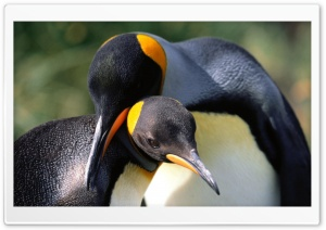 King Penguins Love HD Wide Wallpaper for Widescreen