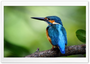Kingfisher HD Wide Wallpaper for 4K UHD Widescreen desktop & smartphone
