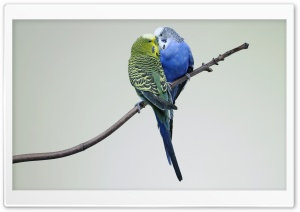Kissing Budgies HD Wide Wallpaper for Widescreen