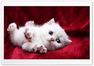 Kitten Begging Cutely HD Wide Wallpaper for Widescreen