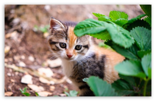 Kitten Behind Leafs HD wallpaper for Wide 16:10 5:3 Widescreen WHXGA WQXGA WUXGA WXGA WGA ; HD 16:9 High Definition WQHD QWXGA 1080p 900p 720p QHD nHD ; Standard 4:3 5:4 3:2 Fullscreen UXGA XGA SVGA QSXGA SXGA DVGA HVGA HQVGA devices ( Apple PowerBook G4 iPhone 4 3G 3GS iPod Touch ) ; Tablet 1:1 ; iPad 1/2/Mini ; Mobile 4:3 5:3 3:2 16:9 5:4 - UXGA XGA SVGA WGA DVGA HVGA HQVGA devices ( Apple PowerBook G4 iPhone 4 3G 3GS iPod Touch ) WQHD QWXGA 1080p 900p 720p QHD nHD QSXGA SXGA ; Dual 5:4 QSXGA SXGA ;