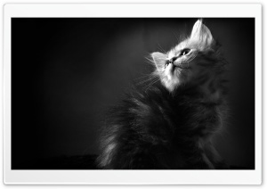 Kitten BW HD Wide Wallpaper for Widescreen