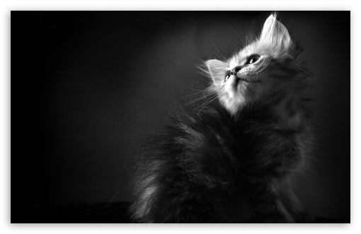 Kitten BW HD desktop wallpaper : High Definition : Fullscreen : Mobile
