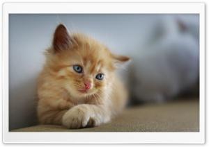 Kitten Cross Paws Ultra HD Wallpaper for 4K UHD Widescreen desktop, tablet & smartphone