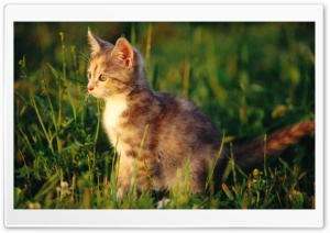 Kitten In Grass HD Wide Wallpaper for 4K UHD Widescreen desktop & smartphone