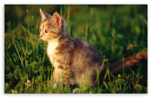 Kitten In Grass HD wallpaper for Wide 16:10 5:3 Widescreen WHXGA WQXGA WUXGA WXGA WGA ; Standard 4:3 5:4 3:2 Fullscreen UXGA XGA SVGA QSXGA SXGA DVGA HVGA HQVGA devices ( Apple PowerBook G4 iPhone 4 3G 3GS iPod Touch ) ; iPad 1/2/Mini ; Mobile 4:3 5:3 3:2 5:4 - UXGA XGA SVGA WGA DVGA HVGA HQVGA devices ( Apple PowerBook G4 iPhone 4 3G 3GS iPod Touch ) QSXGA SXGA ;