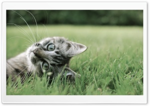 Kitten On The Grass HD Wide Wallpaper for Widescreen