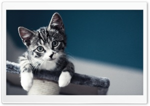 Kitten Please HD Wide Wallpaper for Widescreen