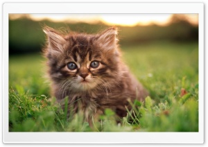 Kitten Portrait HD Wide Wallpaper for Widescreen
