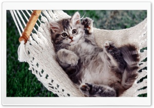 Kitten Sitting In A Hammock HD Wide Wallpaper for 4K UHD Widescreen desktop & smartphone