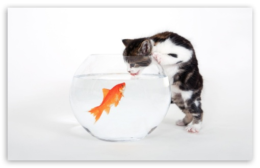Kitten vs. Fish HD wallpaper for Wide 16:10 5:3 Widescreen WHXGA WQXGA WUXGA WXGA WGA ; HD 16:9 High Definition WQHD QWXGA 1080p 900p 720p QHD nHD ; Standard 4:3 5:4 3:2 Fullscreen UXGA XGA SVGA QSXGA SXGA DVGA HVGA HQVGA devices ( Apple PowerBook G4 iPhone 4 3G 3GS iPod Touch ) ; Tablet 1:1 ; iPad 1/2/Mini ; Mobile 4:3 5:3 3:2 16:9 5:4 - UXGA XGA SVGA WGA DVGA HVGA HQVGA devices ( Apple PowerBook G4 iPhone 4 3G 3GS iPod Touch ) WQHD QWXGA 1080p 900p 720p QHD nHD QSXGA SXGA ;