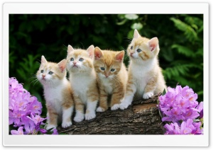 Kittens HD Wide Wallpaper for 4K UHD Widescreen desktop & smartphone