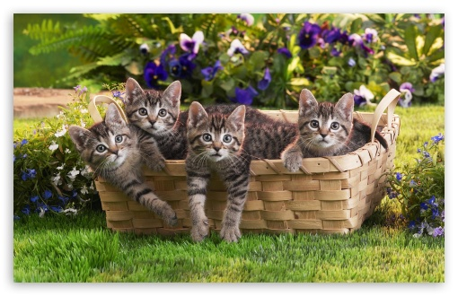 Kittens In Basket HD wallpaper for Wide 16:10 5:3 Widescreen WHXGA WQXGA WUXGA WXGA WGA ; HD 16:9 High Definition WQHD QWXGA 1080p 900p 720p QHD nHD ; Standard 4:3 5:4 3:2 Fullscreen UXGA XGA SVGA QSXGA SXGA DVGA HVGA HQVGA devices ( Apple PowerBook G4 iPhone 4 3G 3GS iPod Touch ) ; iPad 1/2/Mini ; Mobile 4:3 5:3 3:2 16:9 5:4 - UXGA XGA SVGA WGA DVGA HVGA HQVGA devices ( Apple PowerBook G4 iPhone 4 3G 3GS iPod Touch ) WQHD QWXGA 1080p 900p 720p QHD nHD QSXGA SXGA ;