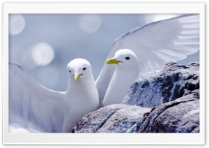 Kittiwakes HD Wide Wallpaper for 4K UHD Widescreen desktop & smartphone
