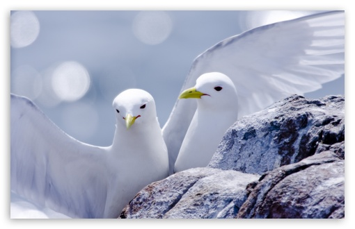 Kittiwakes HD wallpaper for Wide 16:10 5:3 Widescreen WHXGA WQXGA WUXGA WXGA WGA ; HD 16:9 High Definition WQHD QWXGA 1080p 900p 720p QHD nHD ; Standard 4:3 5:4 3:2 Fullscreen UXGA XGA SVGA QSXGA SXGA DVGA HVGA HQVGA devices ( Apple PowerBook G4 iPhone 4 3G 3GS iPod Touch ) ; iPad 1/2/Mini ; Mobile 4:3 5:3 3:2 16:9 5:4 - UXGA XGA SVGA WGA DVGA HVGA HQVGA devices ( Apple PowerBook G4 iPhone 4 3G 3GS iPod Touch ) WQHD QWXGA 1080p 900p 720p QHD nHD QSXGA SXGA ;