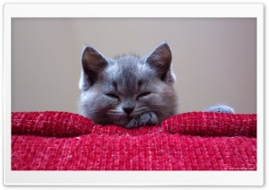 Kitty Ultra HD Wallpaper for 4K UHD Widescreen desktop, tablet & smartphone