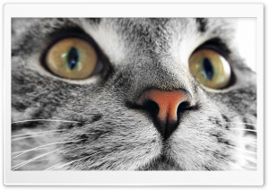 Kitty Cat Close Up HD Wide Wallpaper for Widescreen