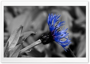 Knapweed HD Wide Wallpaper for Widescreen