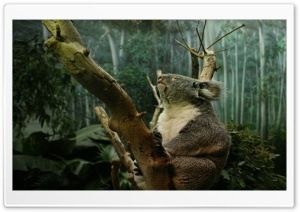 Koala In Tree HD Wide Wallpaper for Widescreen