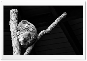 Koala Taking A Nap HD Wide Wallpaper for Widescreen
