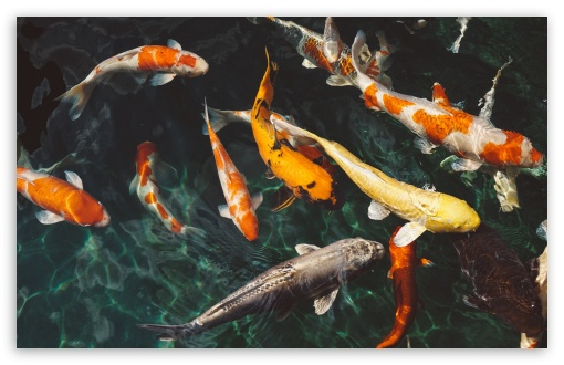 Koi Fish HD wallpaper for Wide 16:10 5:3 Widescreen WHXGA WQXGA WUXGA WXGA WGA ; UltraWide 21:9 ; HD 16:9 High Definition WQHD QWXGA 1080p 900p 720p QHD nHD ; Standard 4:3 5:4 3:2 Fullscreen UXGA XGA SVGA QSXGA SXGA DVGA HVGA HQVGA devices ( Apple PowerBook G4 iPhone 4 3G 3GS iPod Touch ) ; Smartphone 16:9 3:2 5:3 WQHD QWXGA 1080p 900p 720p QHD nHD DVGA HVGA HQVGA devices ( Apple PowerBook G4 iPhone 4 3G 3GS iPod Touch ) WGA ; Tablet 1:1 ; iPad 1/2/Mini ; Mobile 4:3 5:3 3:2 16:9 5:4 - UXGA XGA SVGA WGA DVGA HVGA HQVGA devices ( Apple PowerBook G4 iPhone 4 3G 3GS iPod Touch ) WQHD QWXGA 1080p 900p 720p QHD nHD QSXGA SXGA ;