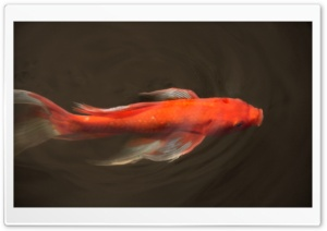 Koi Fish HD Wide Wallpaper for Widescreen