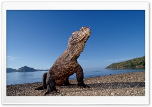 Komodo Dragon Komodo Island Indonesia HD Wide Wallpaper for 4K UHD Widescreen desktop & smartphone