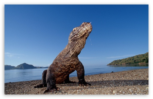 Komodo Dragon Komodo Island Indonesia HD wallpaper for Wide 16:10 5:3 Widescreen WHXGA WQXGA WUXGA WXGA WGA ; HD 16:9 High Definition WQHD QWXGA 1080p 900p 720p QHD nHD ; Standard 4:3 5:4 3:2 Fullscreen UXGA XGA SVGA QSXGA SXGA DVGA HVGA HQVGA devices ( Apple PowerBook G4 iPhone 4 3G 3GS iPod Touch ) ; Tablet 1:1 ; iPad 1/2/Mini ; Mobile 4:3 5:3 3:2 16:9 5:4 - UXGA XGA SVGA WGA DVGA HVGA HQVGA devices ( Apple PowerBook G4 iPhone 4 3G 3GS iPod Touch ) WQHD QWXGA 1080p 900p 720p QHD nHD QSXGA SXGA ;