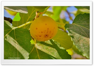Kurdistan-Nature-Fig HD Wide Wallpaper for Widescreen